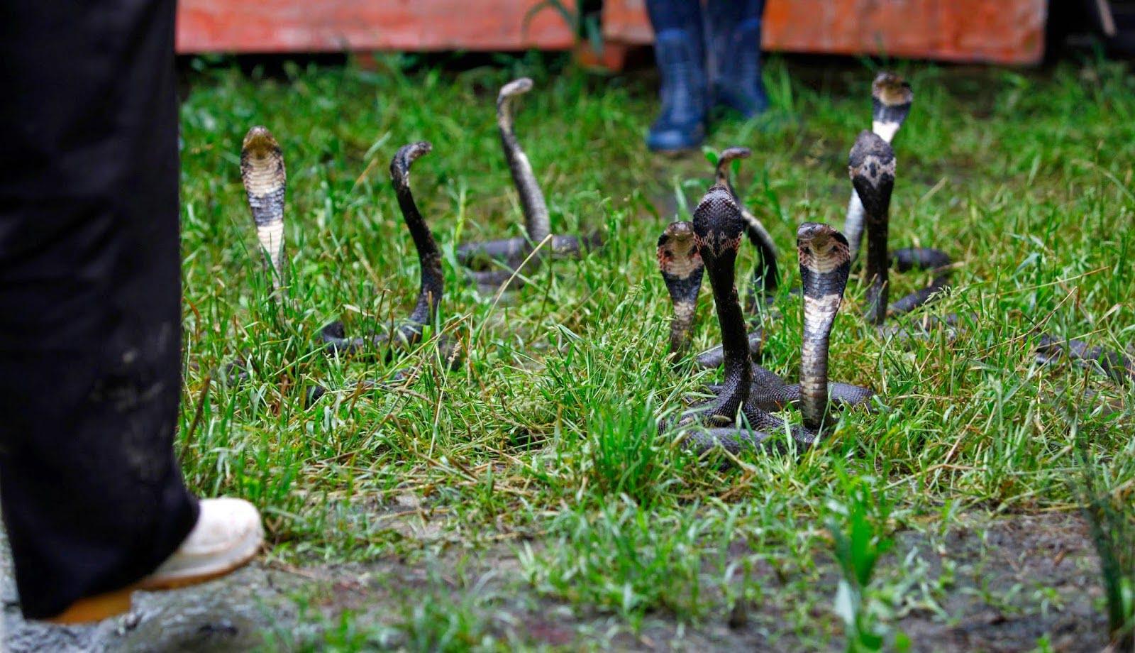 Snake Farming, China, Snake Village, Hindi, Story, History, Information, Kahani, Itihas, Jankari.