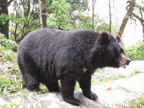 10 Most Dangerous Animals Of India Hindi Information - Bear