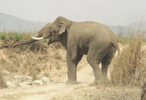 10 Most Dangerous Animals Of India Hindi Information - Elephant