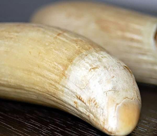 A Whale Tooth In Fiji Rituals