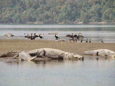 10 Most Dangerous Animals Of India Hindi Information - Crocodile
