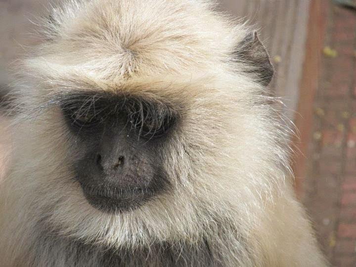 10 Most Dangerous Animals Of India Hindi Information - Monkey