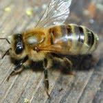 अनोखी घटना- कुछ ही दिनों में होने वाली थी लाइलाज बीमारी से मौत, लेकिन मधुमक्खीयों ने काटा तो बच गई जान