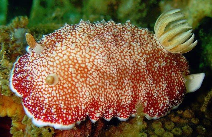 Disposable penis creature - Sea Slug Hindi Information