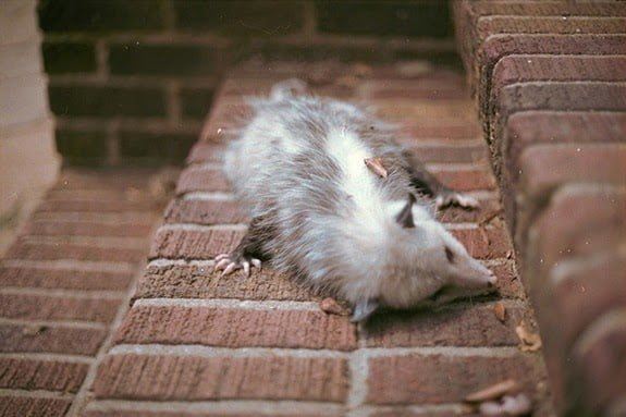 sleepingopossum