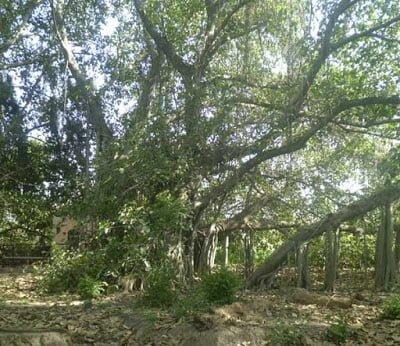 Amazing Deadliest Banyan Tree at Punjab