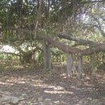 500 साल पुराना यह बरगद का पेड़, कहलाता है मौत का पेड़