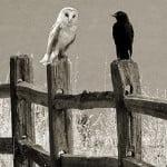 शकुन शास्त्र – जानिए कौए व उल्लू से जुड़े शकुन-अपशकुन
