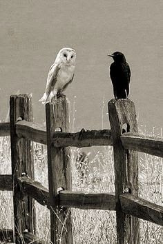 Shakun Shastra - Shakun Apshakun for owl and crow in Hindi
