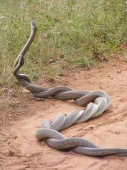 Mating in snakes in Hindi