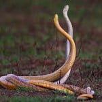 Mating In Snakes : जानिए कैसे होता है सांपों का मिलन, कैसे बनाते हैं जोड़ा