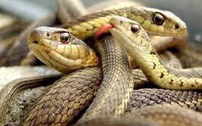 Amazing Facts of Snake according to Bhavishya Purana in Hindi