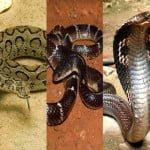 Top 3 Poisonous Snakes of India : ये है भारत के तीन सबसे घातक ज़हरीले सांप जो है सबसे ज्यादा मौतों के जिम्मेदार