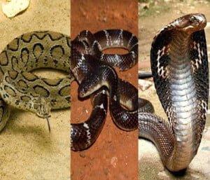 Hindi Information of 3 dangerous snake of India