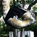 अमेज़िंग फ़ोटोज़: पेड़ पर लटक अजगर ने किया चमगादड़ का शिकार