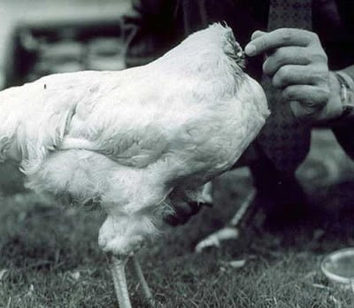 Headless Chicken That Lived For 18 Months
