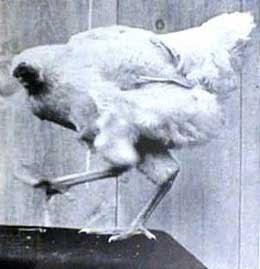 Unbelievable but true story of a Headless Chicken in Hindi