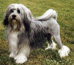 Lowchen dog Information In Hindi