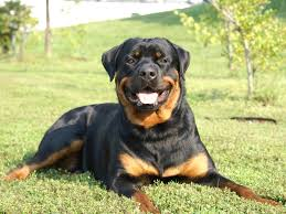 Rottweiler dog Information In Hindi