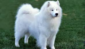 Samoyed dog Information In Hindi