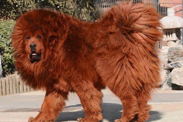 Tibetan Mastiff dog Information In Hindi