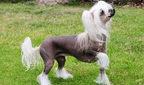 Chinese Crested Hairless dog Information In Hindi