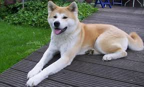 Akita dog Information In Hindi