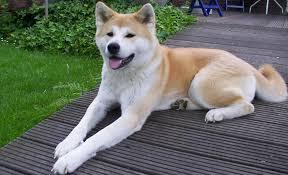 Akita dog Information In Hindi