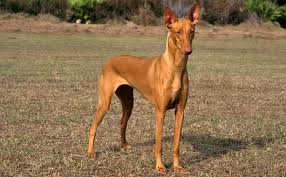 Pharaoh hound dog Information In Hindi