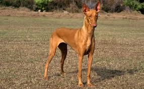 Pharaoh hound dog Information In Hindi