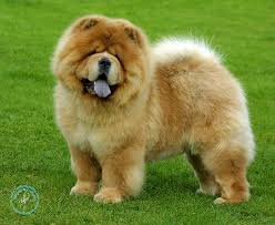 chow chow dog Information In Hindi