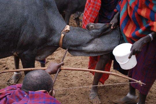 Maasai Tribe (People), Animal Blood Drinking, Hindi, Information, Story, History, Kahani, Itihas , Jankari