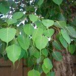 एस्ट्रोलॉजी – किस पेड़ की पूजा से मिलता है क्या फायदा