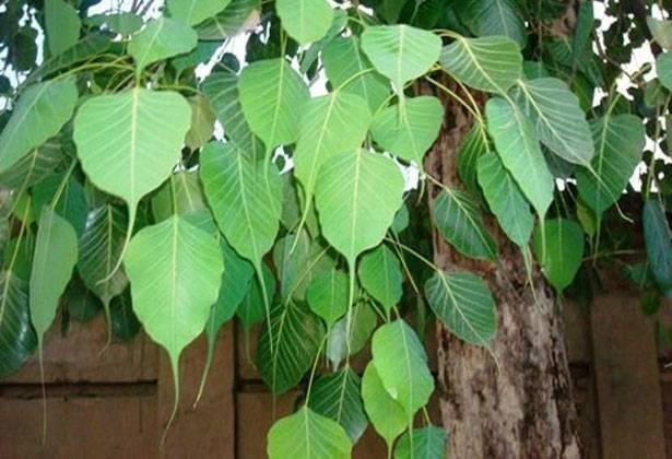 How To Worship Peepal Tree in Hindi, Kaise kArein Peepal Vraksh Ka Pujan, Benefits of Peepal Pujan, Fyade
