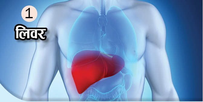 What Is The Function Of These Body Organs, Liver